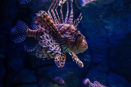 cichlidae: Lionfish in aquarium Stock Photo