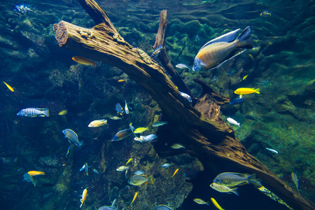 tropical tank: Exotic fishes in tropical ocean  Underwater picture
