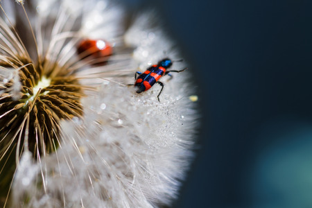 Red bug walking on the dandelion macro close up  photo