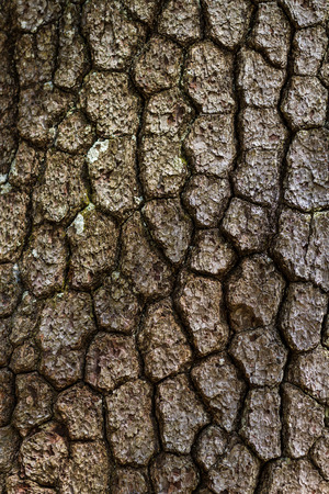 bark background: Old wood tree bark texture background pattern