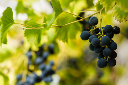 vine: Row of vines with grapes and vine leafs