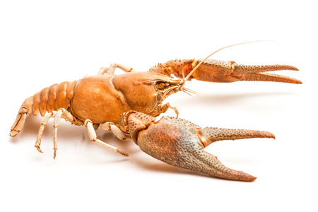 lobster isolated: A cooked lobster crab isolated on white background