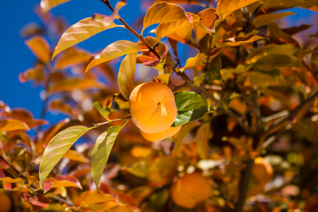 persimmon tree: Ripe Hachiya Persimmon, hanigng on the branch of a tree at fruit garden Stock Photo
