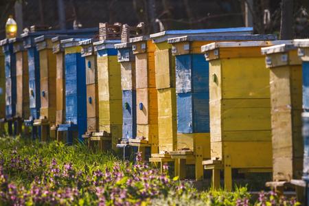 arboles frutales: colmenas de abejas en la primavera de jardín con árboles frutales en flor con flor y las flores
