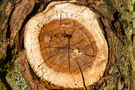 cross cut: Wooden background. Cross cut of a tree trunk. Close up Stock Photo