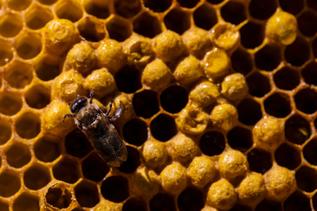 Newborn bee hatch from pilo on honeycomb in hive Stock Photo