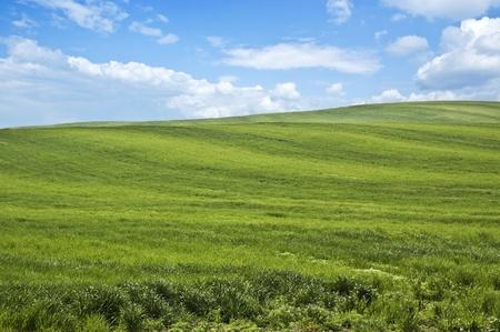 Zielona łąka pszenicy w spr