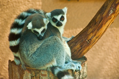 taking nap: Time for a nap. Two adorable lemurs taking a daily nap Stock Photo