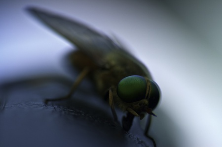 Macro shot of Horsefly(focus on the eyes with very short depth of field)