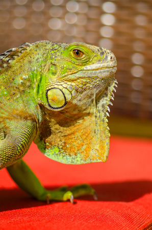 Iguana posing for a picture time Stock Photo