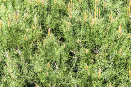 Full background conifer in the foreground Stock Photo