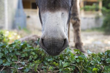 snout: Close up snout of a donkey