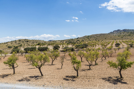 olive groves: Olive groves between hills in Spain