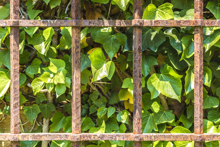rusty fence: Old and rusty fence on a wall made of green leaves
