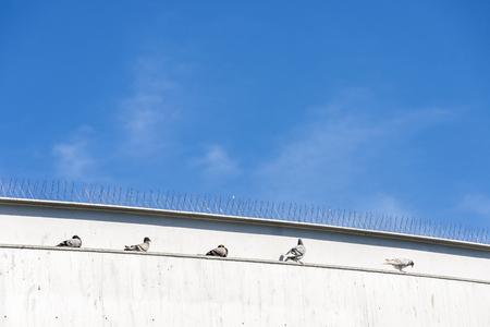 Cinco palomas, descansando sobre una pared bajo algunos picos anti-palomas en Barcelona, ??Cataluña, España