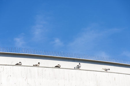 Five doves resting on a wall under some anti-pigeon spikes in Barcelona, Catalonia, Spain