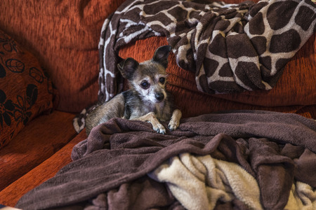 dog waiting: Small dog waiting stretched out on the couch surrounded by blankets