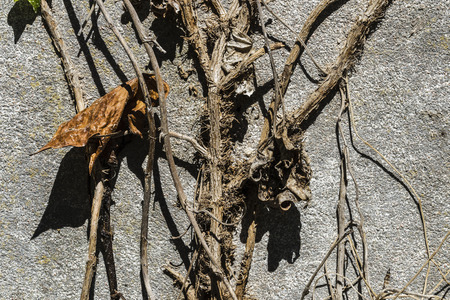 climbing frames: Closeup of a dry leaf and a creeper on old stone wall as background Stock Photo