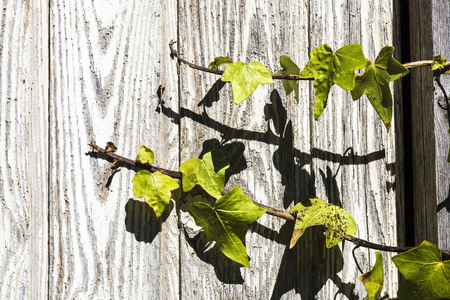 climbing plant: Closeup of a climbing plant on old wood as background Stock Photo