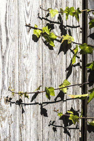 climbing frames: Closeup of a climbing plant on old wood as background Stock Photo