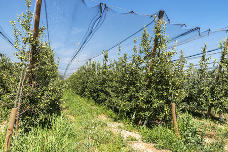 Rows of apple trees with protective nets in Lleida, Catalonia, Spain