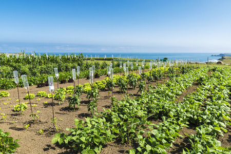 Orchard of vegetables and tomato with drip system made with plastic bottles and with the sea in the background in Cantabria, Spain