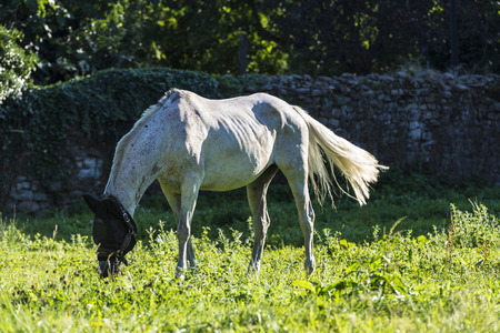 White horse eating grass in a meadow in Spain