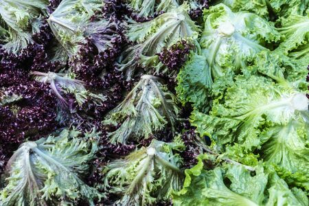 Red leaf lettuce and Batavia lettuce stand in a farmer market on a street as background in Athens, Greece Stock Photo