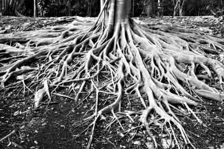 Roots of millennial tree in black and white Reklamní fotografie