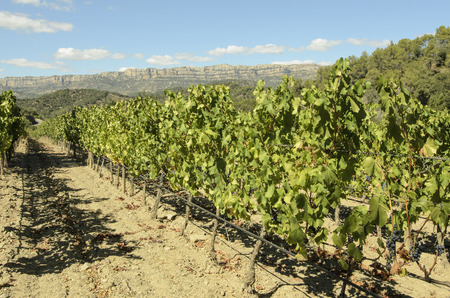 traditional climbing: Lots vineyard production of wine grapes in Priorat, Spain production of wine grapes in Priorat, Spain Stock Photo