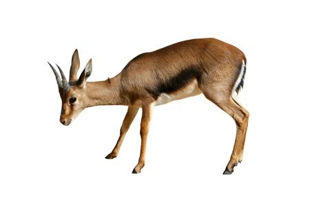 African gazelle isolated on white background