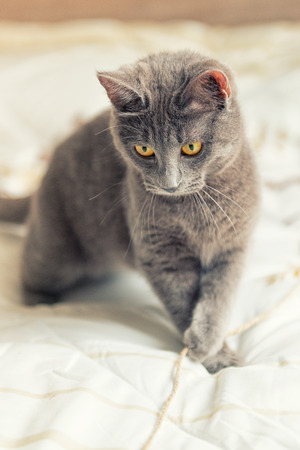 yello: Gray cat with yello eyes plays on bed