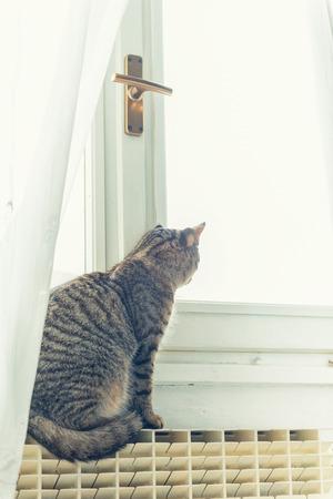 gato atigrado: Gato atigrado con ojos amarillos mirando a las ventanas Foto de archivo