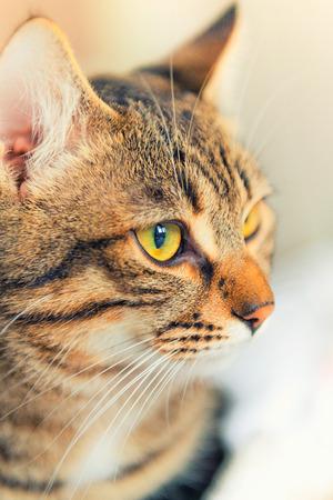 gato atigrado: Gato atigrado europeo con ojos amarillos mirando a otro lado Foto de archivo