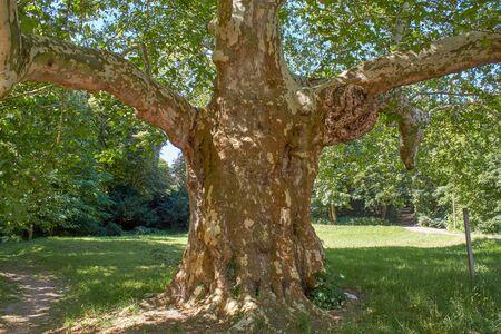 An old giant plane tree in a public park near Dresden. Banque d'images