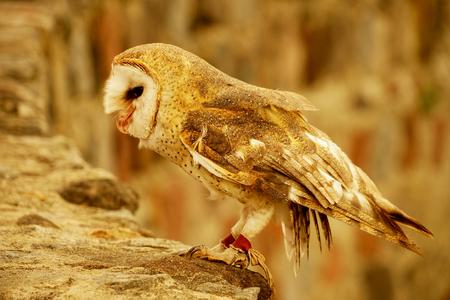Snowy Owl sitting on a rock wall