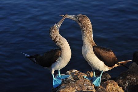 Blue footed boobies on the island of San Cristobal, Galapagos, Ecuador