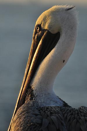 Pelican sitting on a rock Archivio Fotografico