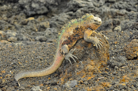 A marine iguana on a rock, Galapagos Islands, Ecuador Archivio Fotografico