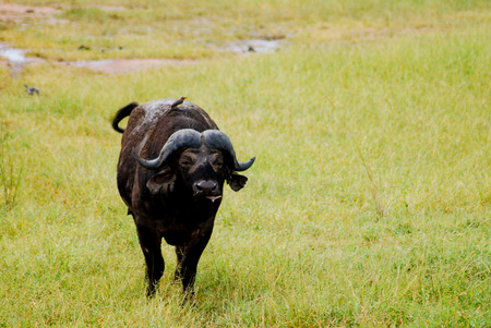 Un solo búfalo africano en las llanuras de África. Foto de archivo