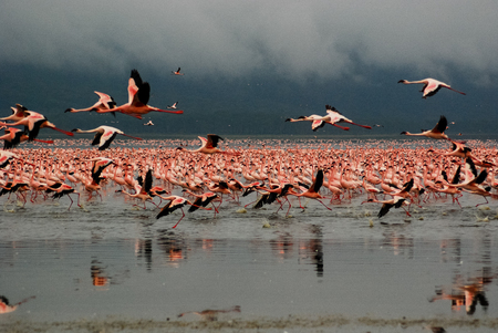 A large group of flamingoes flying at the Lake Nakuru, Kanya, East Africa