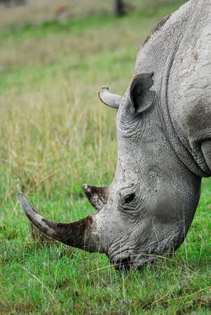 A close up of a rhino eating grass on the plains of savannah