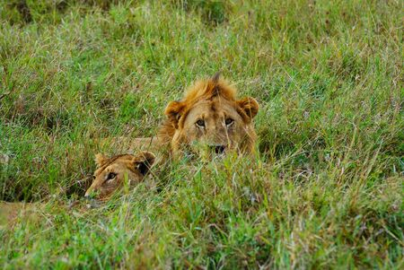 Two lions, a male and a female on the plains of Africa