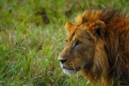 Un majestuoso león macho en las llanuras de África.