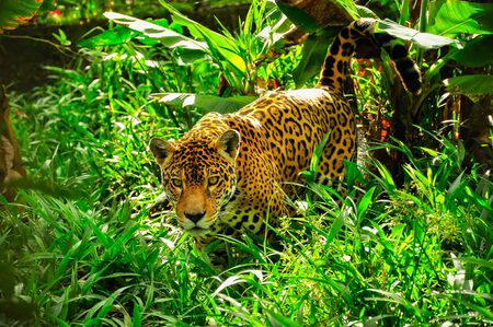 An adult jaguar staling in the grass 免版税图像