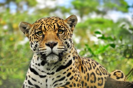 Adult jaguar sitting in the jungle
