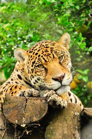 Adult jaguar sitting in the jungle Stock Photo