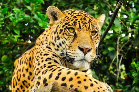 Adult jaguar sitting in the jungle