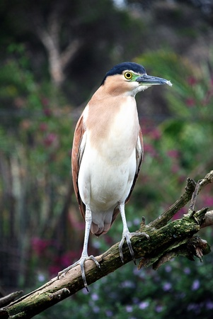 Rufous Night Heron sitting on a branch