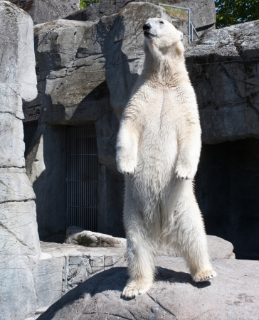 Big polar bear standing up